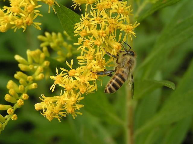 セイタカアワダチソウと蜜蜂:クリックしてご覧下さい